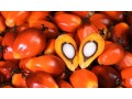 wisbit-global-oil-palm-ventures-is-into-the-processing-and-production-of-100-pure-virgin-red-palm-oil-small-0