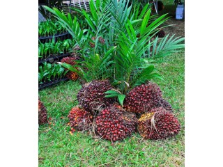 Anakco Palm Farm Care Nigeria Limited is a farm and oil mill industry