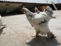 brahma-birds-special-sale-contact-us-small-0